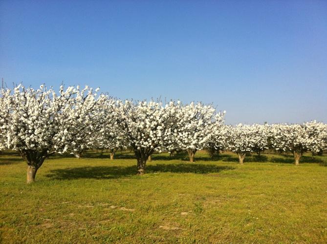 Le terme cerisier désigne plusieurs espèces d arbres de la